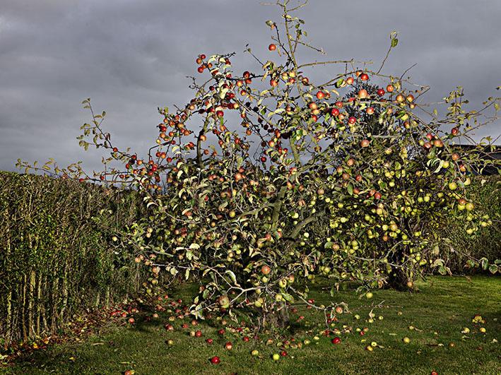 Æbletræ bag hæk