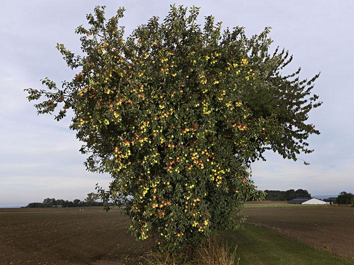 Æbletræ på mark