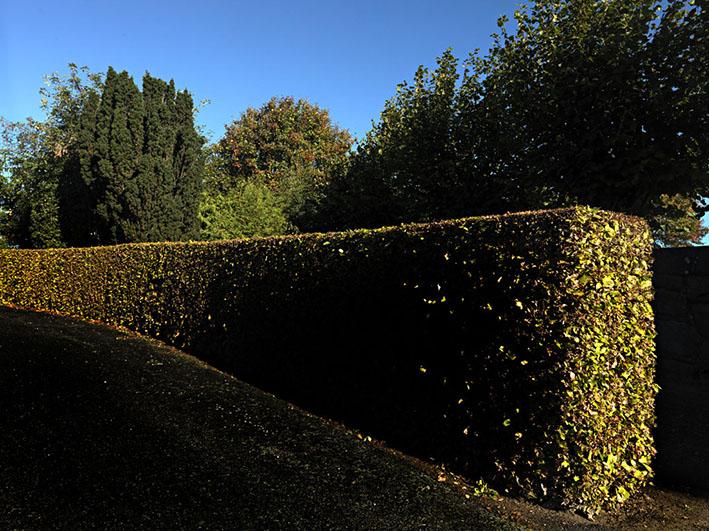 Kirkegårdshæk